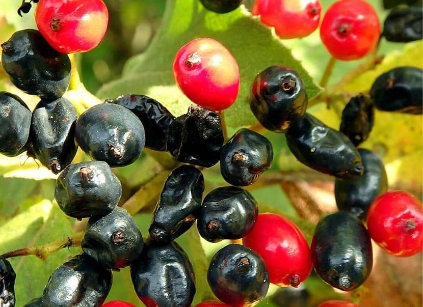 variedad de colores en el fruto del barbadejo
