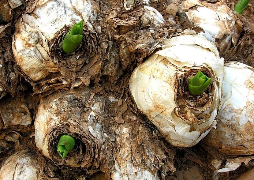 varios bulbos de la planta Urginia marítima empezando a florecer