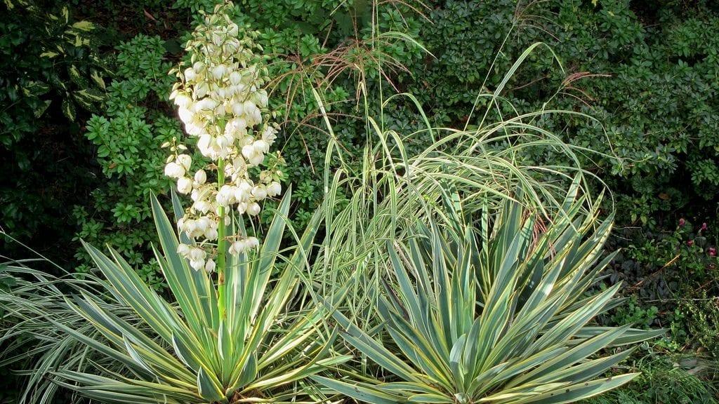 Yucca gloriosa f. variegata