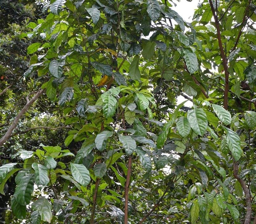 árbol de la nuez de cola