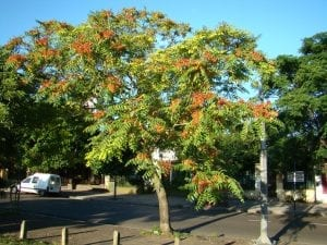 Vista del árbol Ailanthus altissima