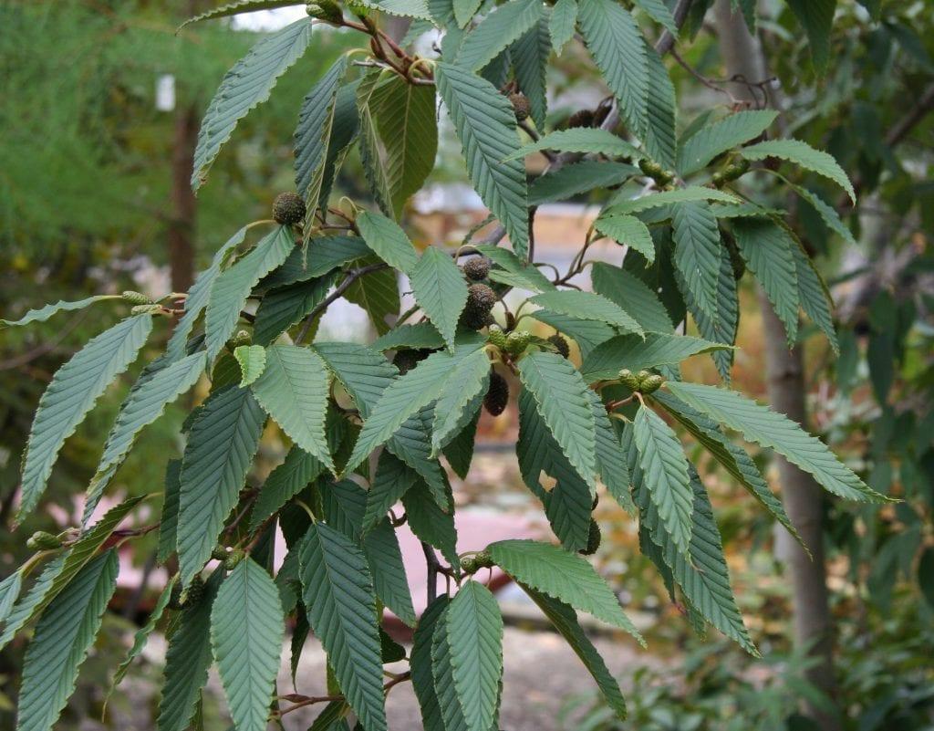 Las hojas del Alnus firma son más pequeñas que las de otras especies