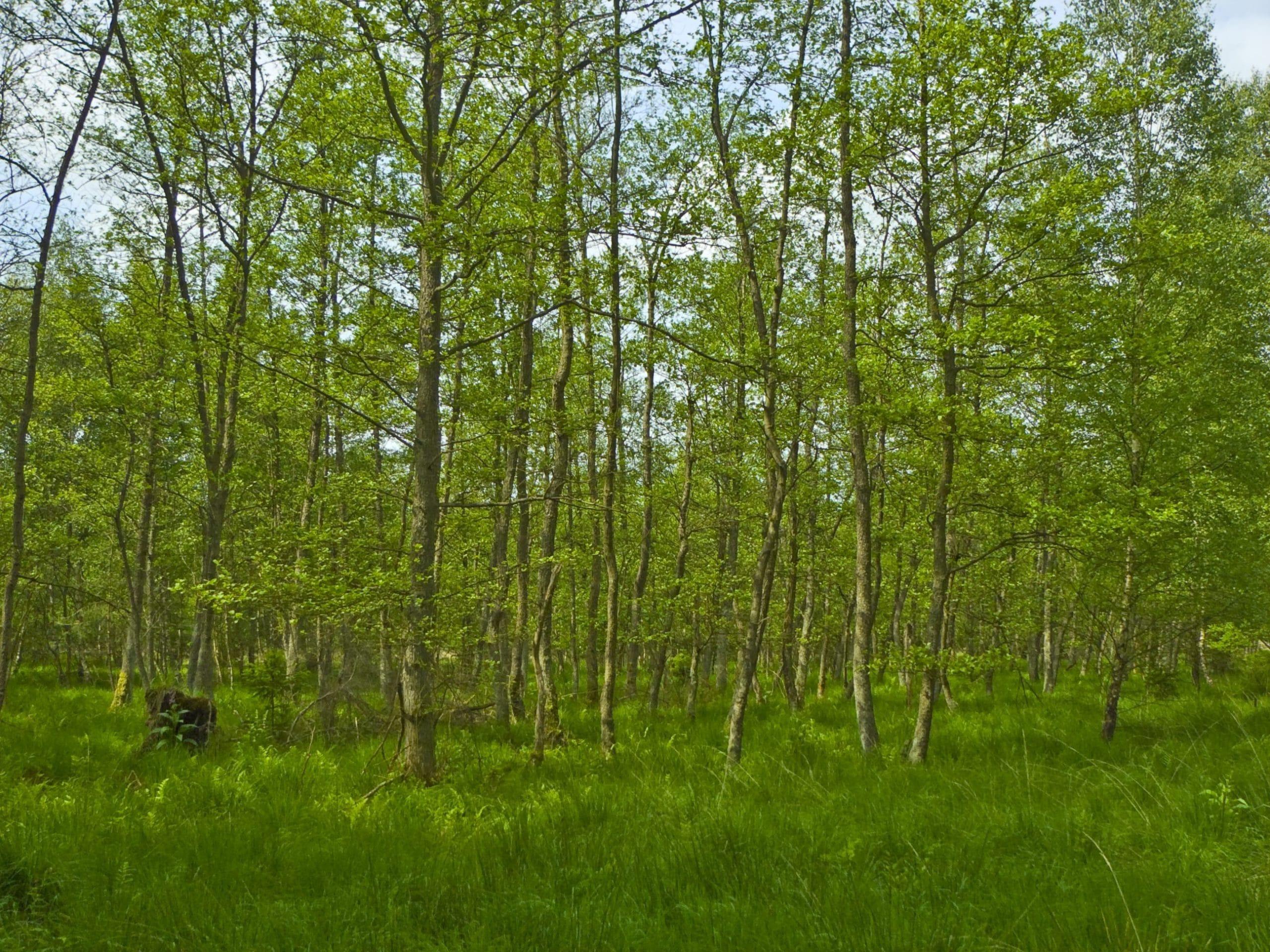 El Alnus glutinosa o aliso forma bosques