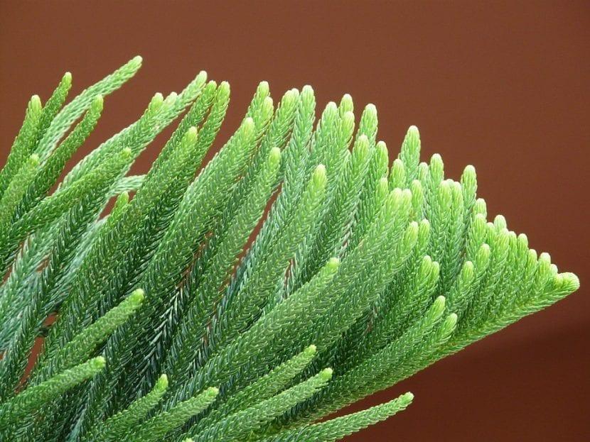 Vista de las hojas de la Araucaria heterophylla