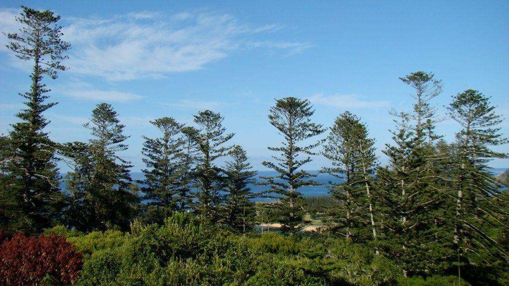 Vista de la Araucaria heterophylla en hábitat