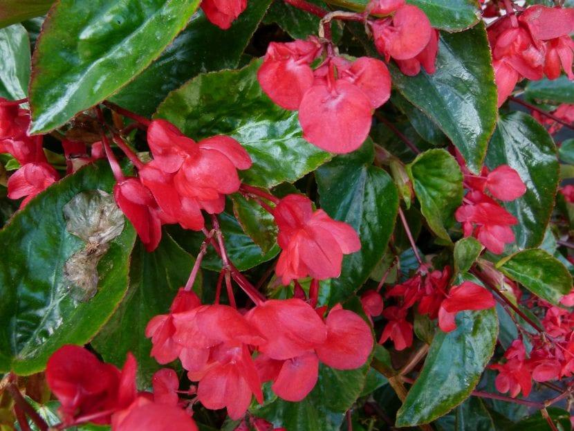 Begonia Dragon, de flores rojas