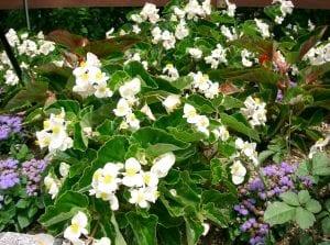 Begonia Dragon Wing, de flores blancas