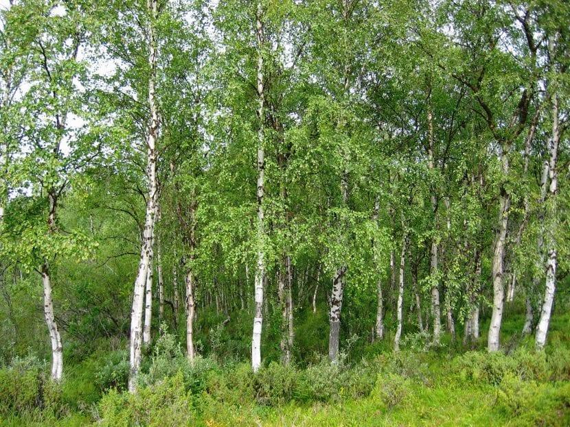 Vista del Betula pendula en hábitat