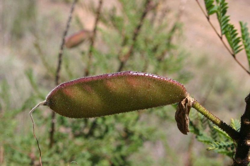 Vista del fruto de la Caesalpinia gilliesii