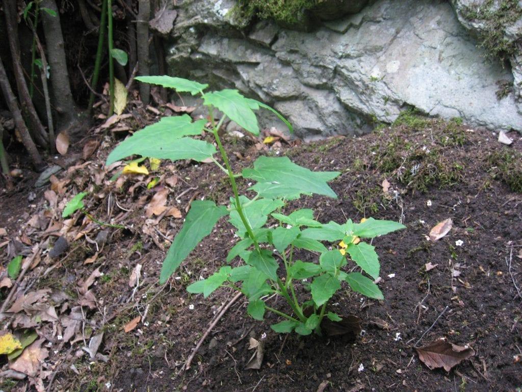 La Canarina canariensis es una enredadera de rápido crecimiento
