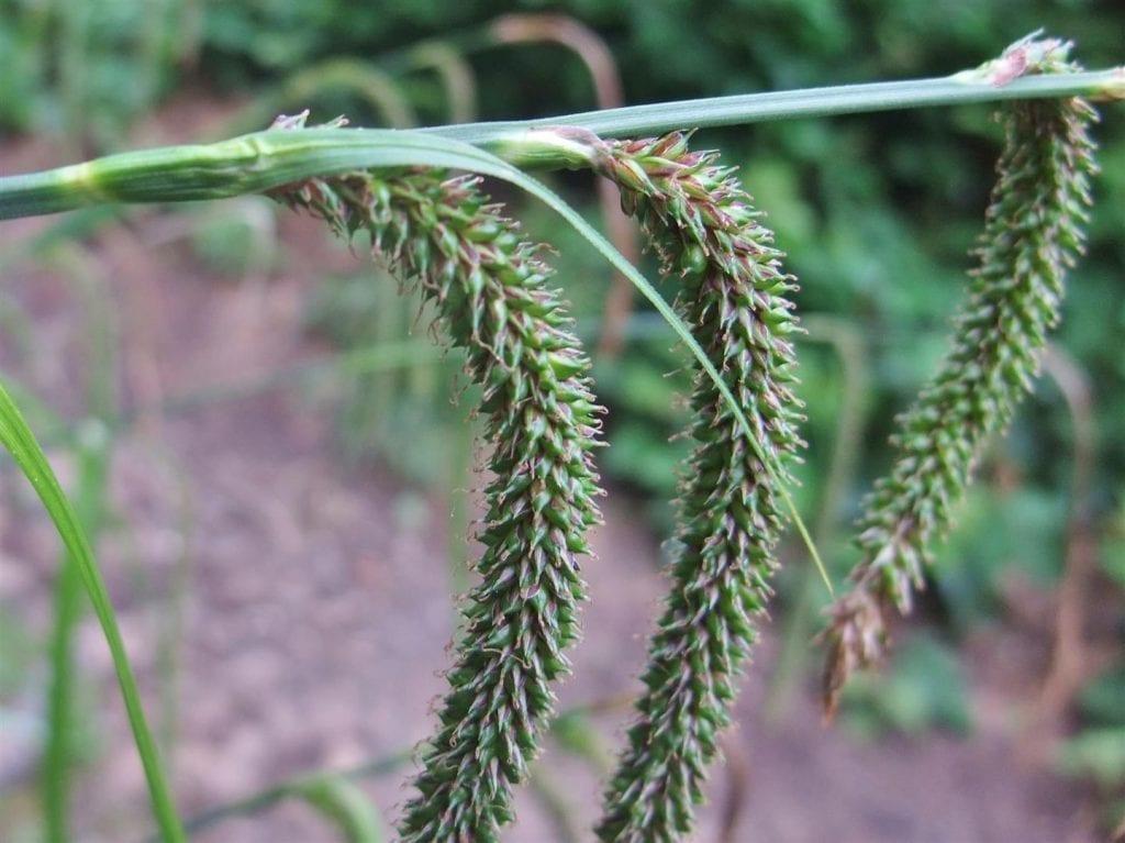 Las flores del Carex pendula son espigas