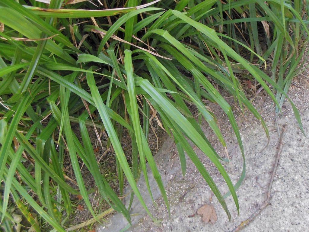 Las hojas del Carex pendula son acintadas