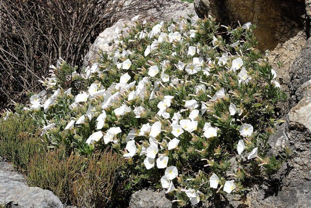El Convolvulus cneorum es una planta de flores blancas
