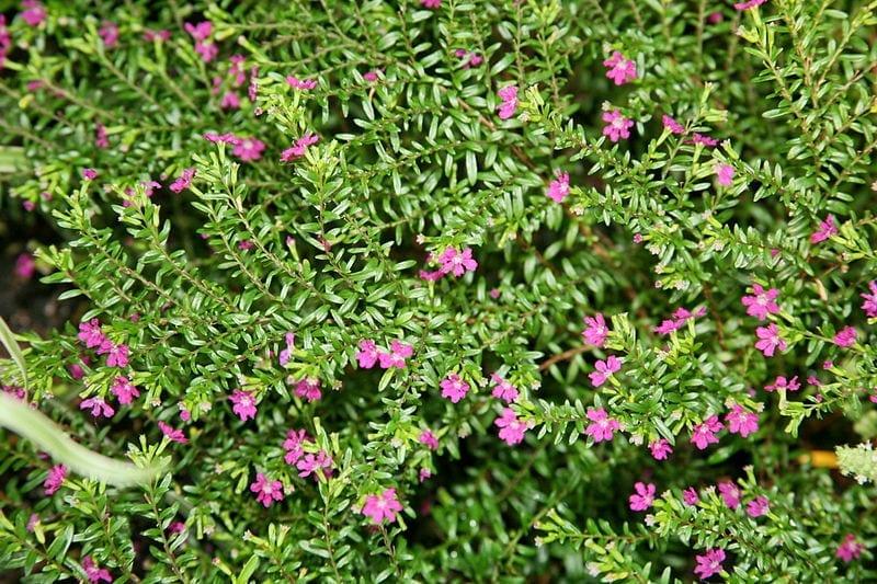 La Cuphea hissopifolia es una planta ideal para macetas o jardín
