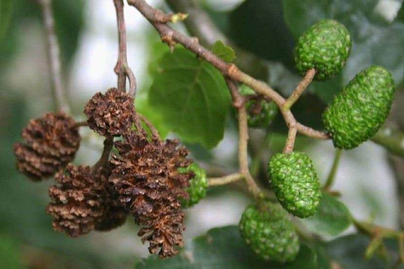 Frutos del Alnus glutinosa