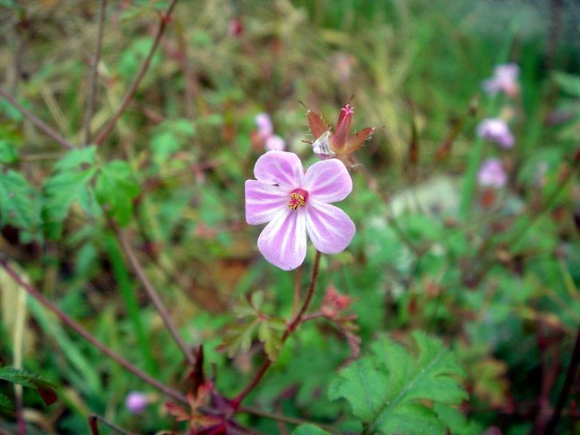 La flor del Geranium purpureum es rosada