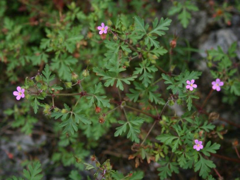 El Geranium purpureum es una planta muy decorativa