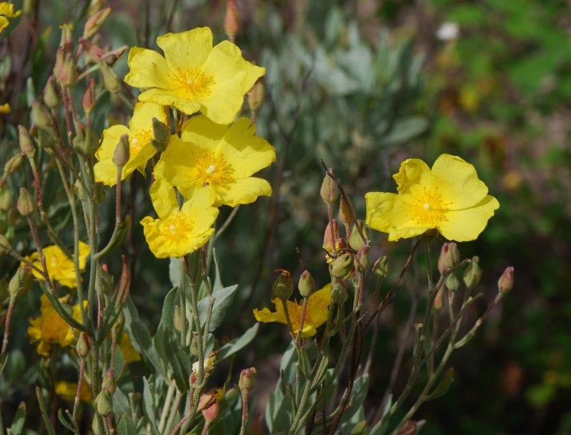 Vista de las flores del Halimium halimifolium
