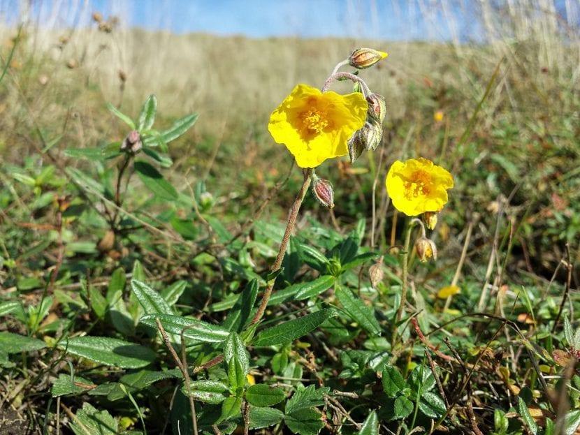 Las flores del Helianthemum nummularium son amarillas