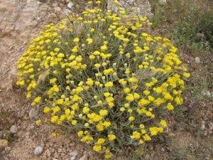 El Helichrysum stoechas vive en campos abiertos