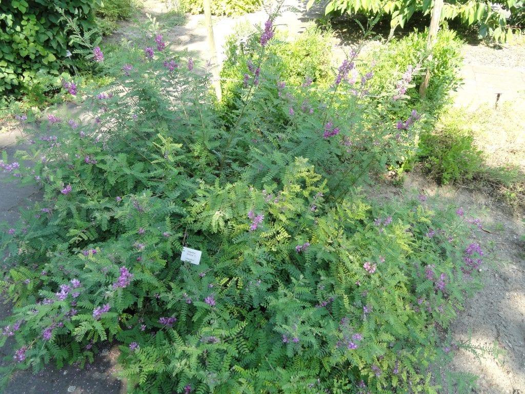 Vista de la planta Indigofera tinctoria