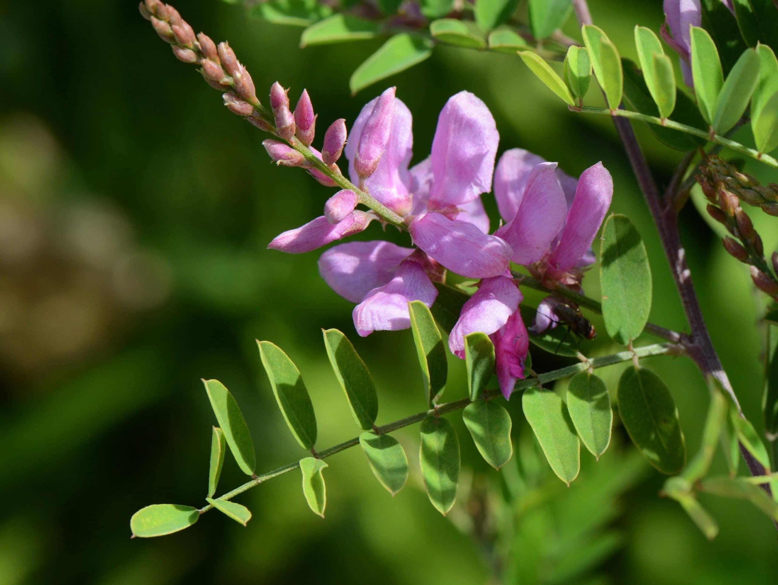 Las flores de la Indigofera tinctoria son púrpuras