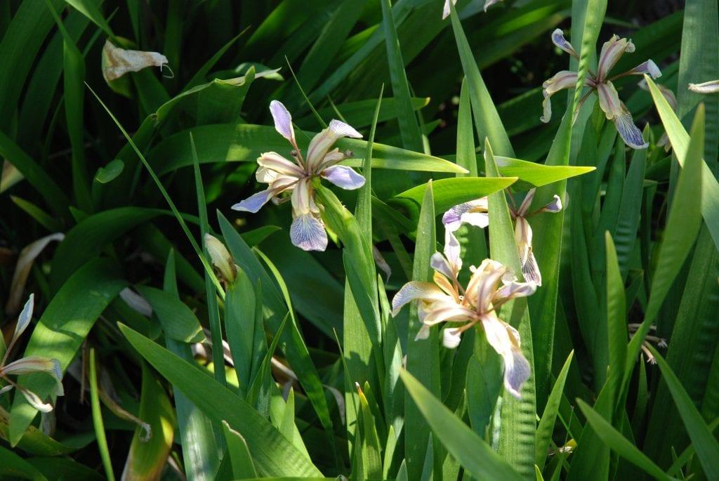 Vista de la planta Iris foetidissima
