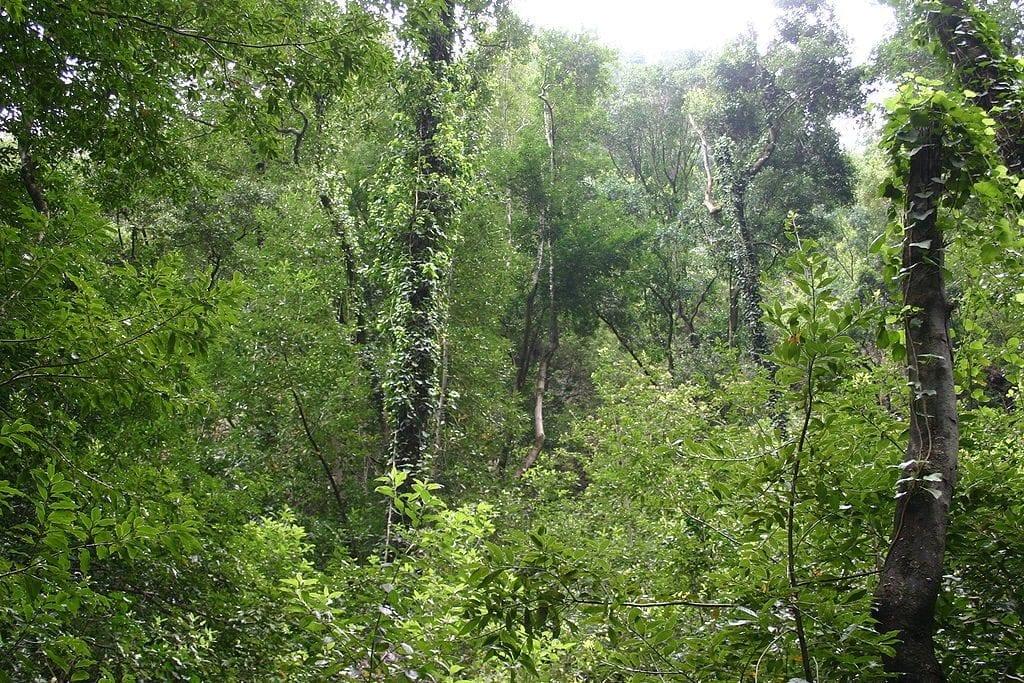 Las plantas de la laurisilva son perennes