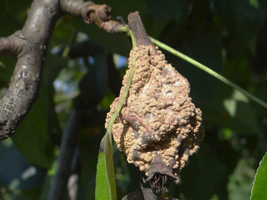 Monilinia fructigena
