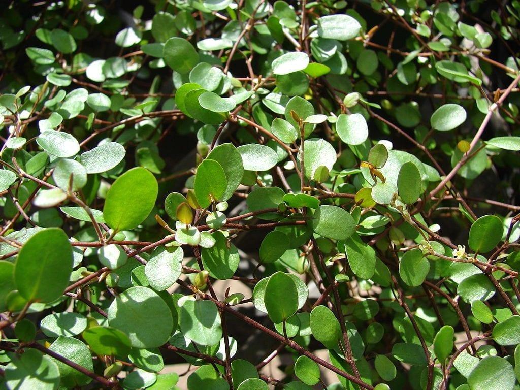 Muehlenbeckia complexa, una planta cubresuelos