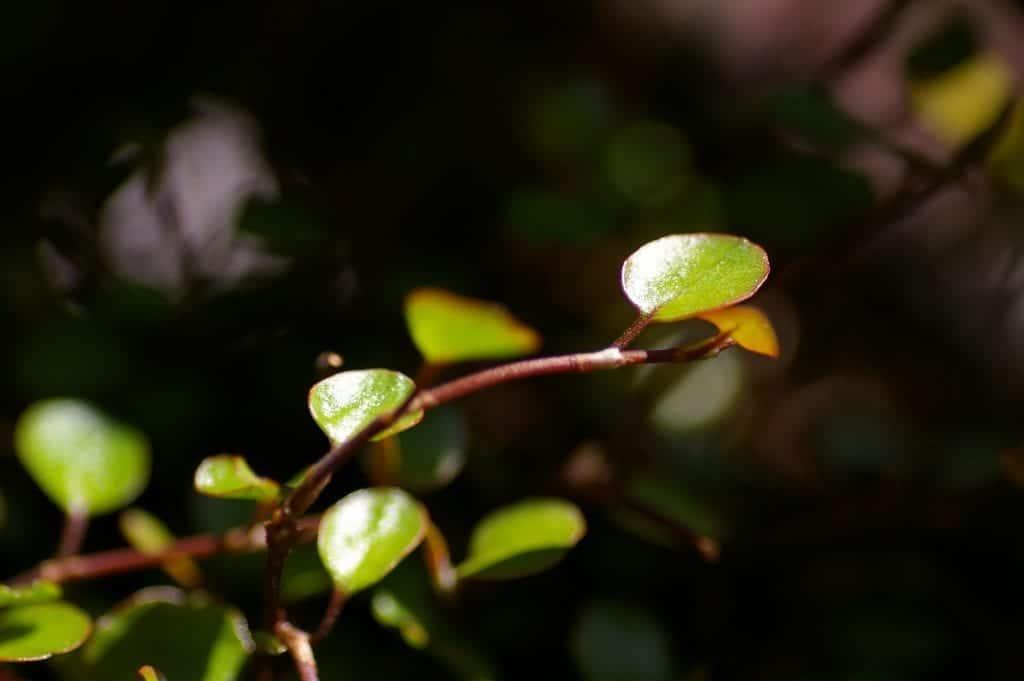 Las hojas de la Muehlenbeckia son pequeñas
