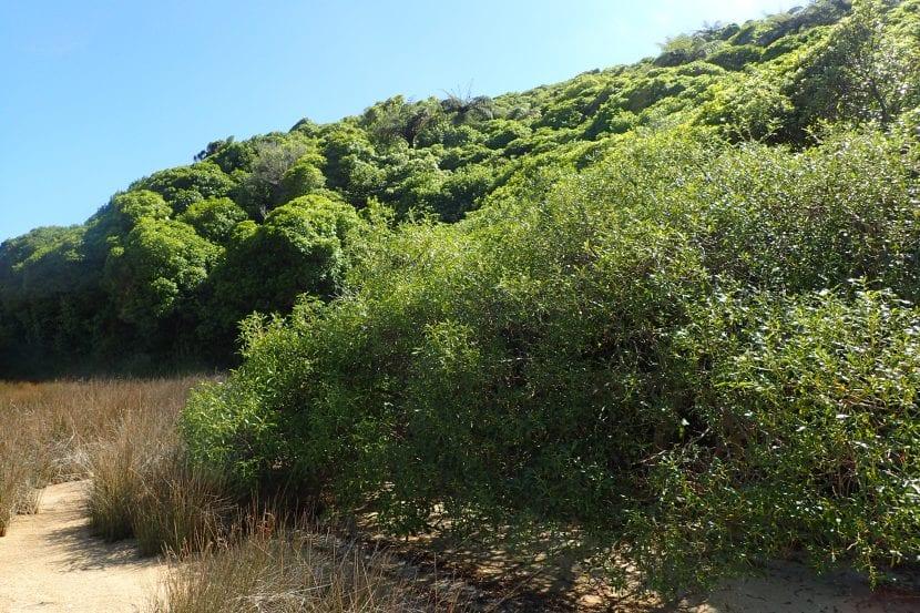 Vista del Myoporum laetum en hábitat