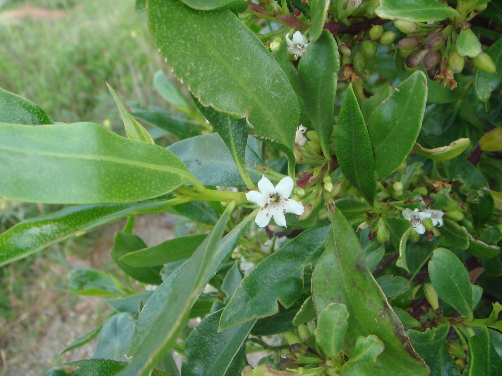Las hojas del Myoporum laetum son lanceoladas y verdes
