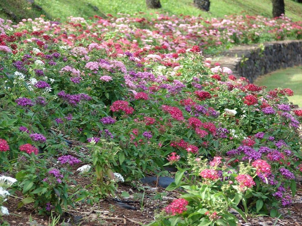 La Pentas lanceolata se puede cultivar en el jardín