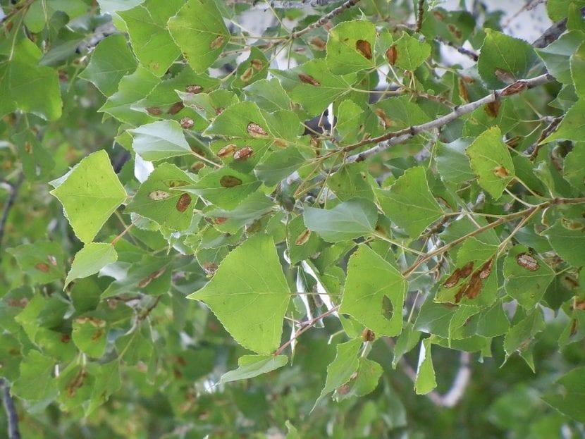 El Populus nigra es un árbol vulnerable a enfermedades