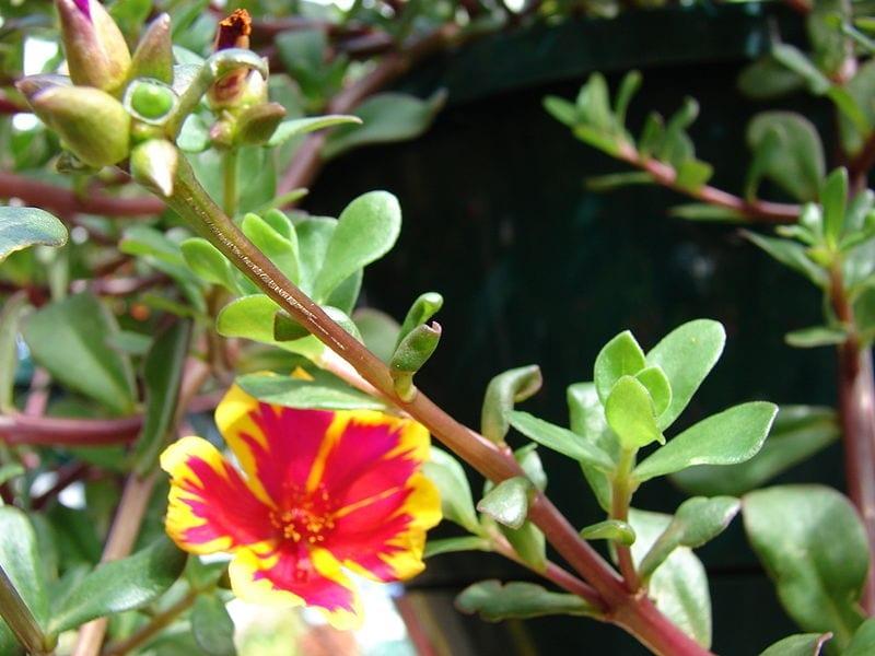 Las flores de la Portulaca umbraticola son muy decorativas