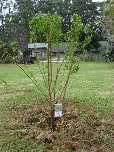 El ciruelo japonés es un árbol de jardín precioso