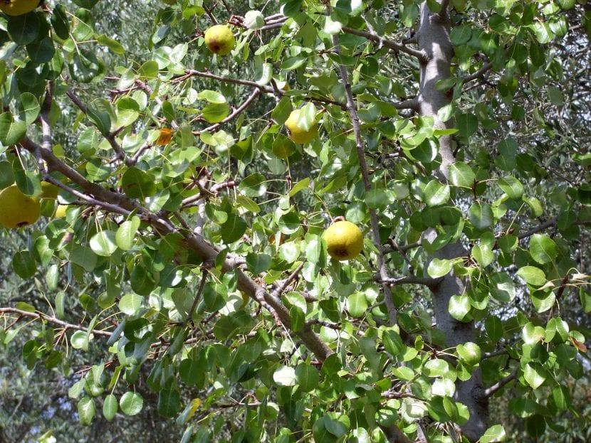 Vista de los frutos del Pyrus bourgaeana