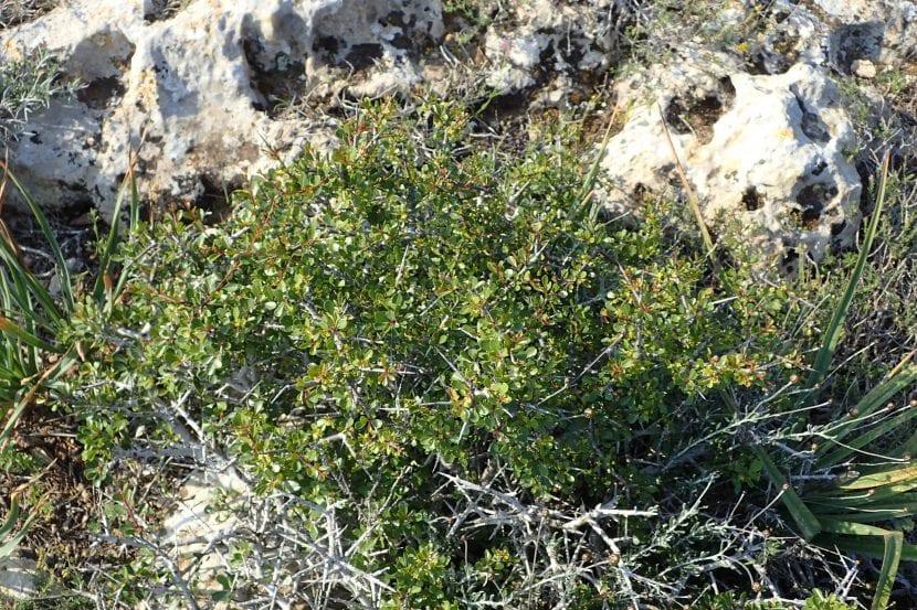 Vista general del Rhamnus lycioides