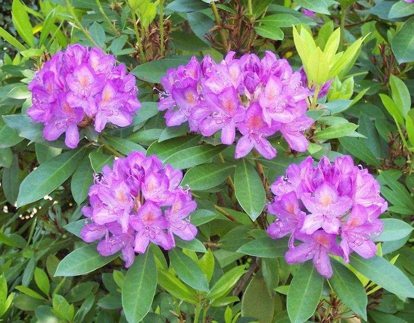 Vista del Rhododendron ponticum