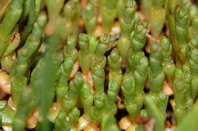 Vista de la planta Salicornia ramosissima