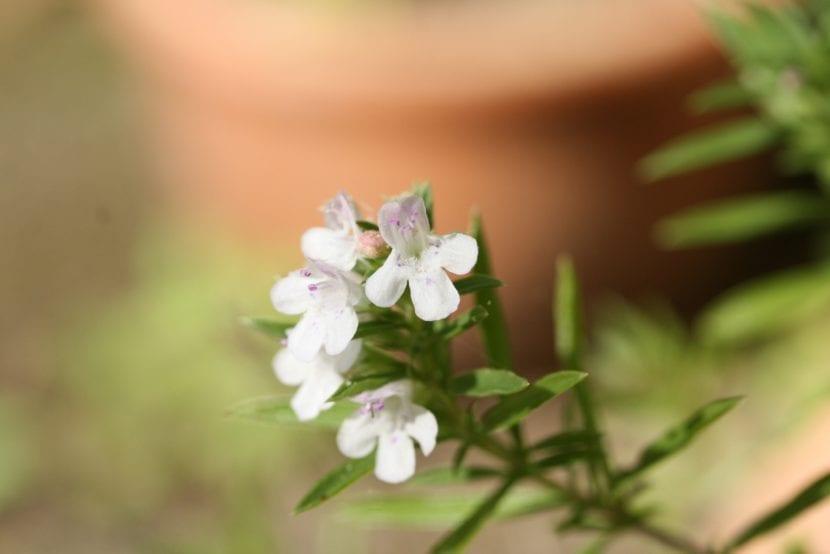 Las flores de la ajedrea son blancas