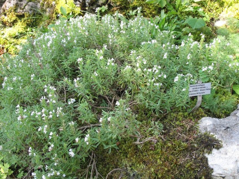 La ajedrea es una planta que se cultiva bien en un jardín
