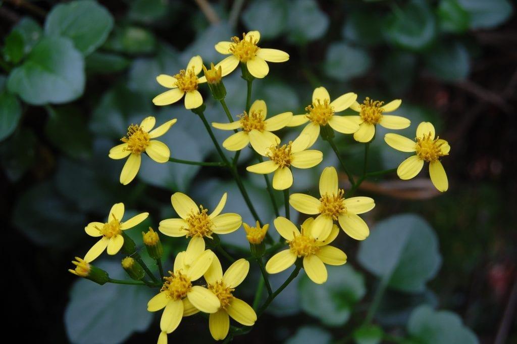 Las flores del Senecio angulatus son amarillas