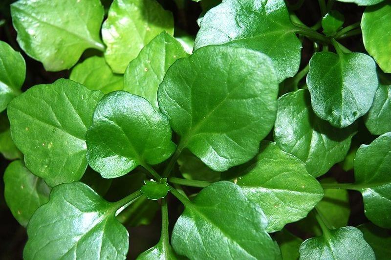 Las hojas del Senecio angulatus son carnosas