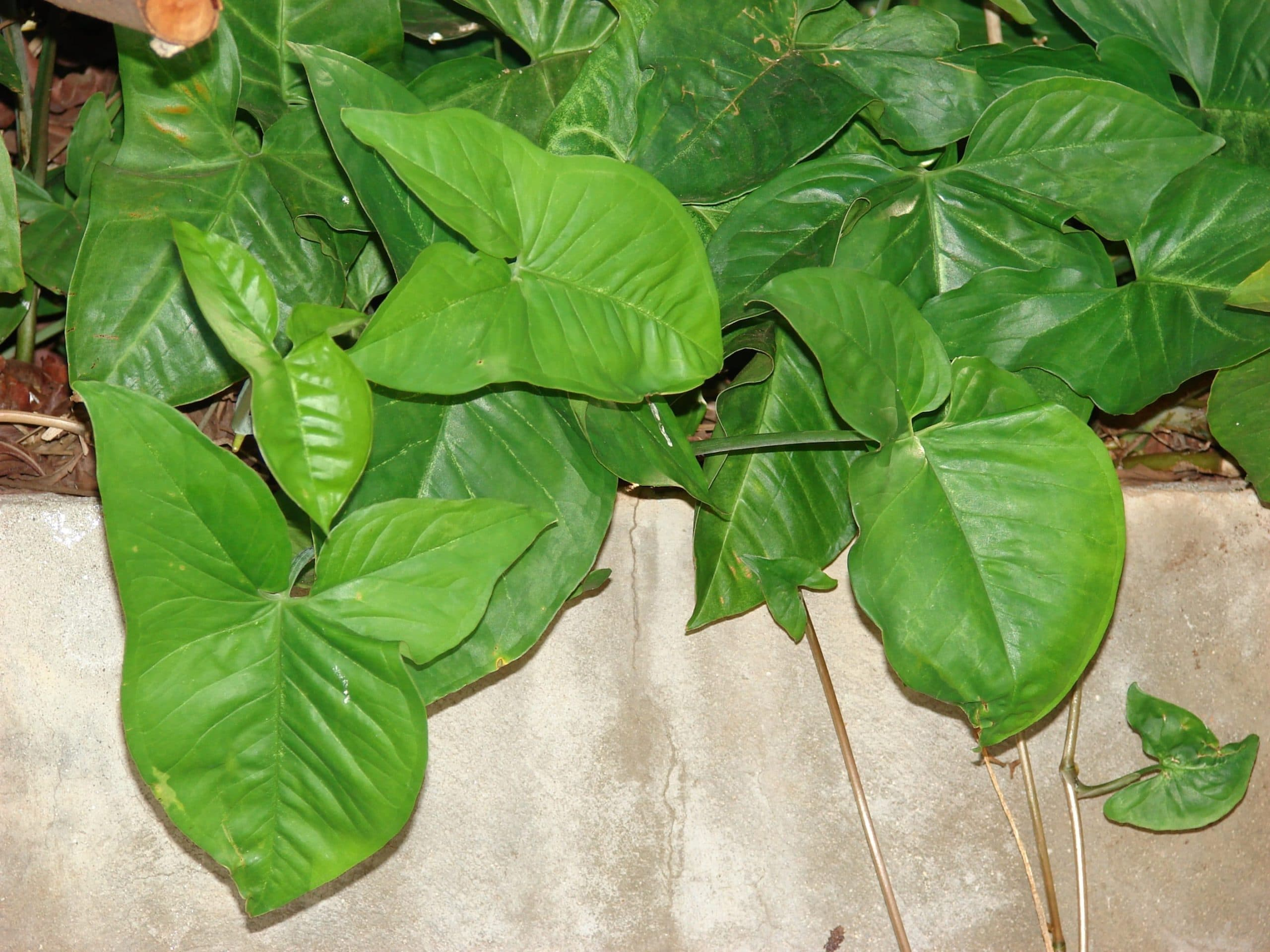 Vista de las hojas del Syngonium podophyllum