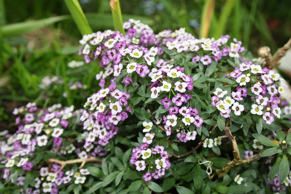 El Alyssum es una magnífica planta de jardín
