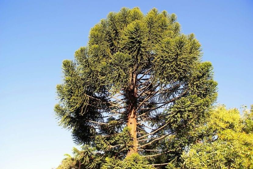 La Araucaria heterophylla es una conífera imponente