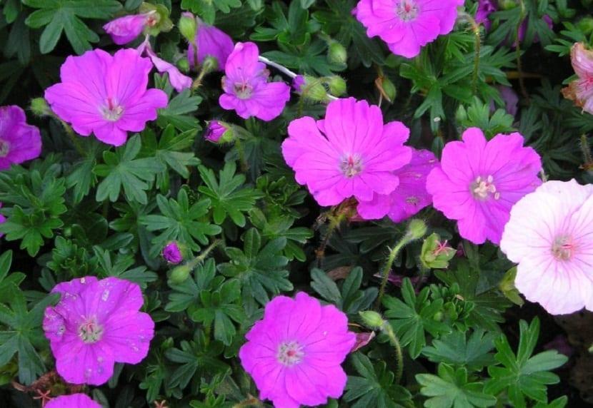 arbusto con flores de color rosado