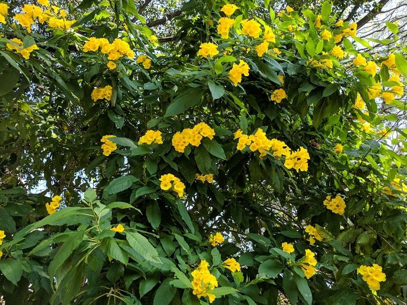 arbusto con pequeñas flores amarillas llamadas Tacoma stans